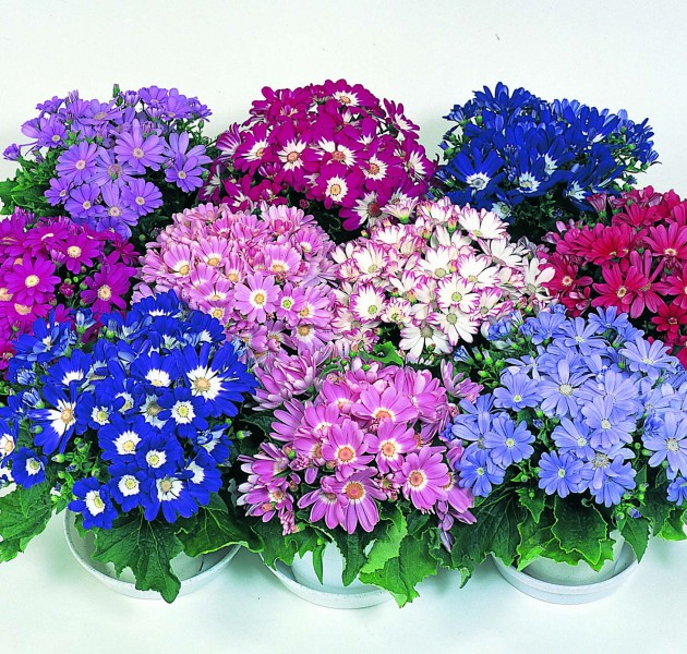 Cineraria Wink Mixture