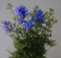 Delphinium Mint Blue
