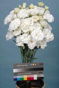Lisianthus F1 Passacaglia White imp