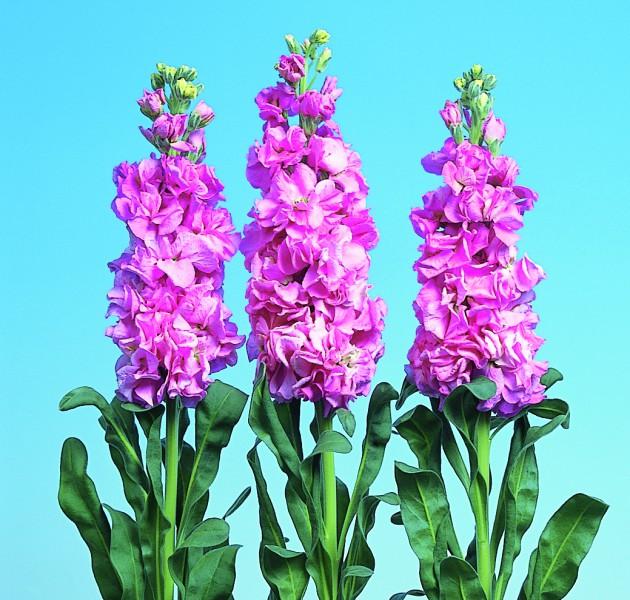 Matthiola Iron Deep Pink