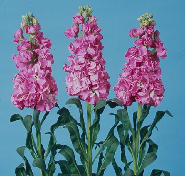 Matthiola Iron Rose Pink