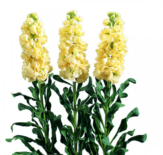 Matthiola Iron Yellow