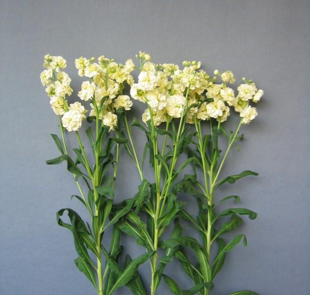 Matthiola Spark Yellow