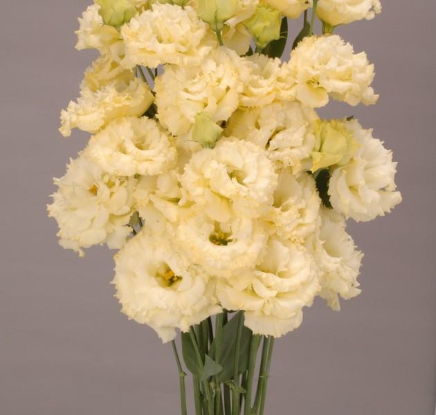 Lisianthus F1 Chaconne Yellow