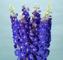 Delphinium F1 Ariel Blue