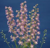 Delphinium Trick Pink
