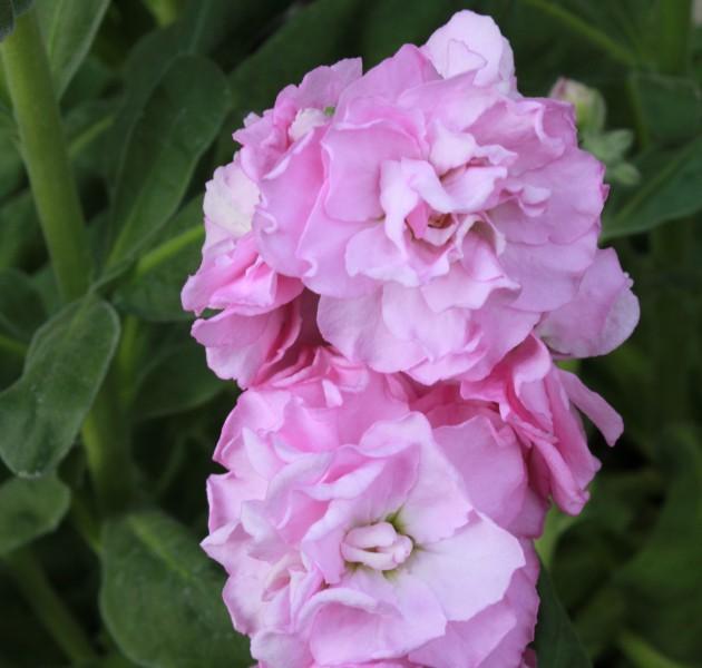 Matthiola Baby Clear Pink
