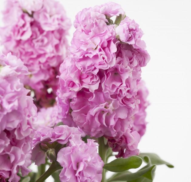 Matthiola Baby Pink