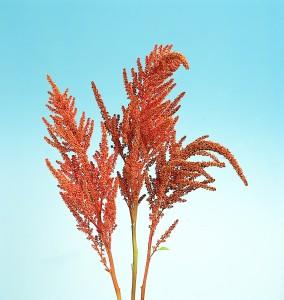 Amaranthus cruentus Hot Biscuit