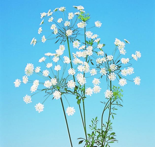 Ammi majus (White Lace Flower)