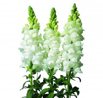 Antirrhinum majus F1 Fair Pure White No.2