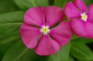 Catharanthus F1 Merry Go Round Lilac