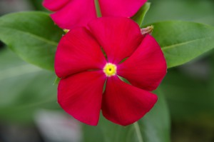 Catharanthus F1 Merry Go Round Red