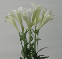 Lilium formolongo F1 Azusa No.1