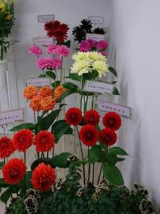 第66回関東東海花の展覧会_日本種苗協会ブース_ミヨシ展示20170202